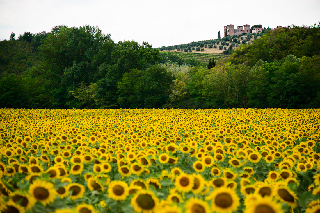 Siena Sunflowers